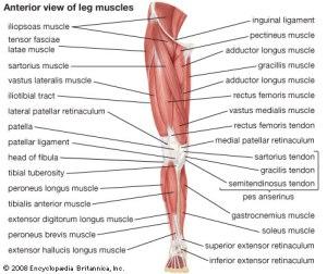 frontlegmuscles